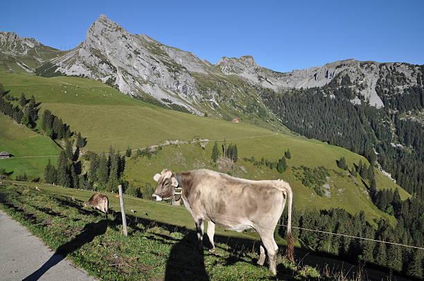 Kühe auf Fluonalp, Schweiz – Foto