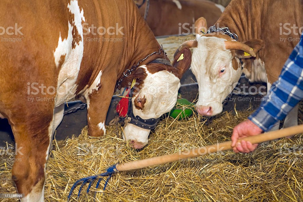 Cows at livestock exhibition stock photo
