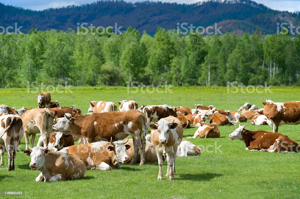 cows at meadow royalty-free stock photo