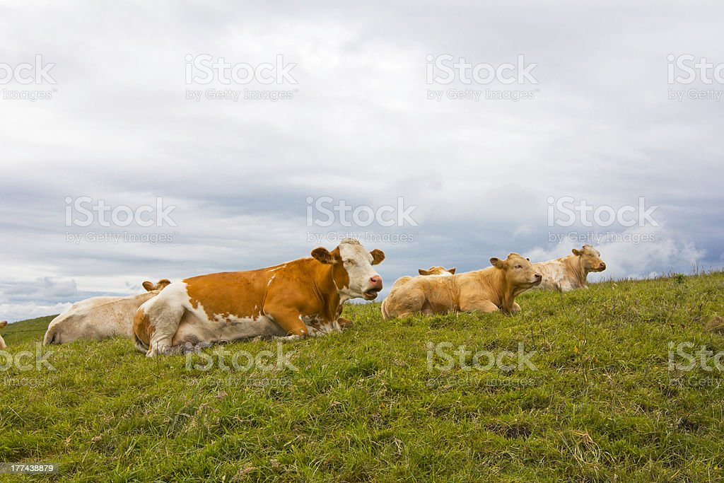 Cows at Rest in Ireland royalty-free stock photo