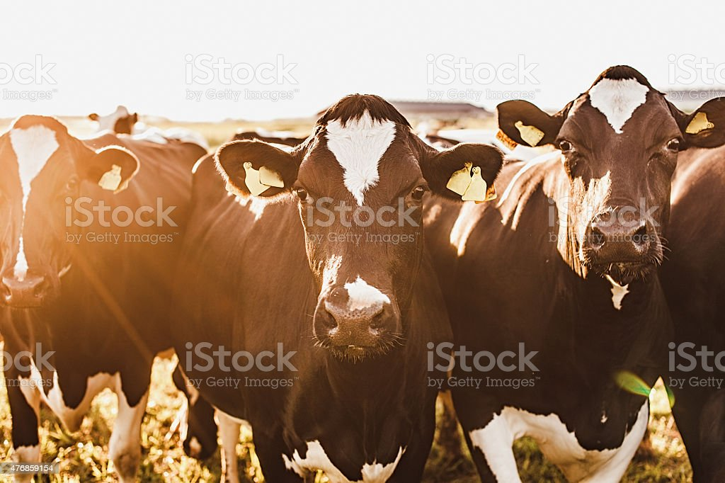 Cows at sunset in summer stock photo