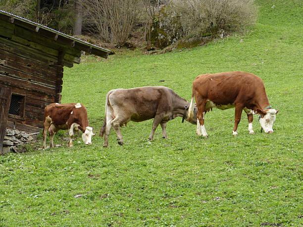 Kühe im Stall in einer Bergwiese – Foto