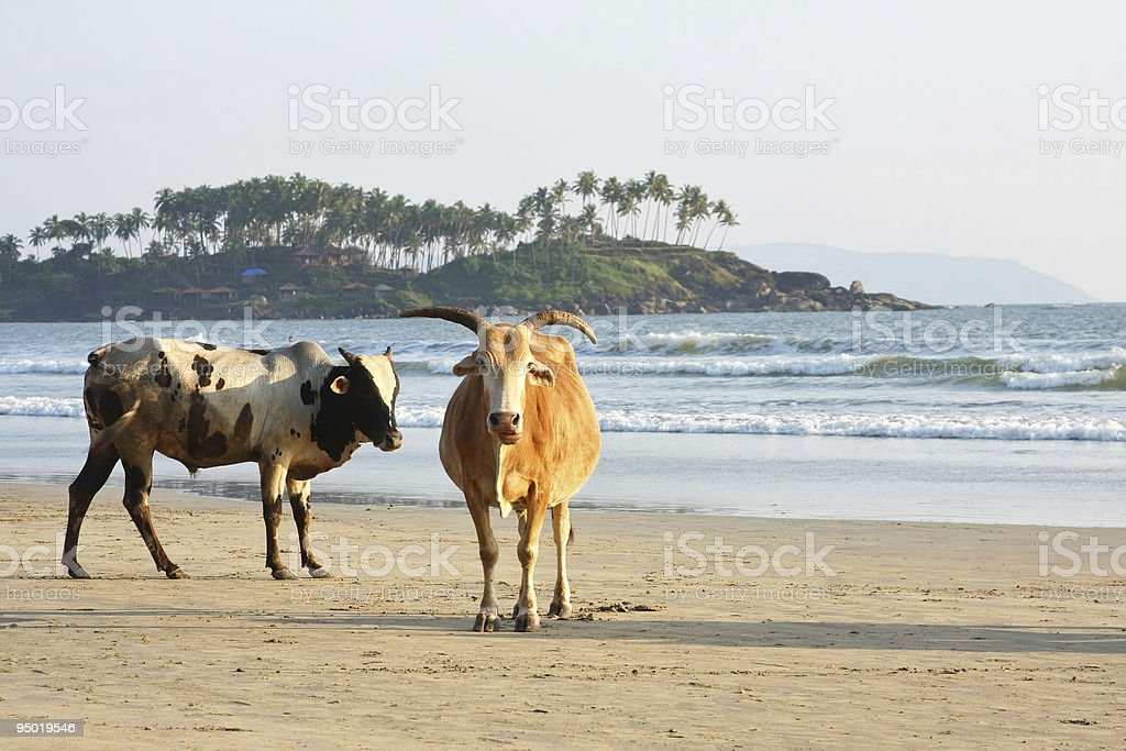 Cows at the beach stock photo