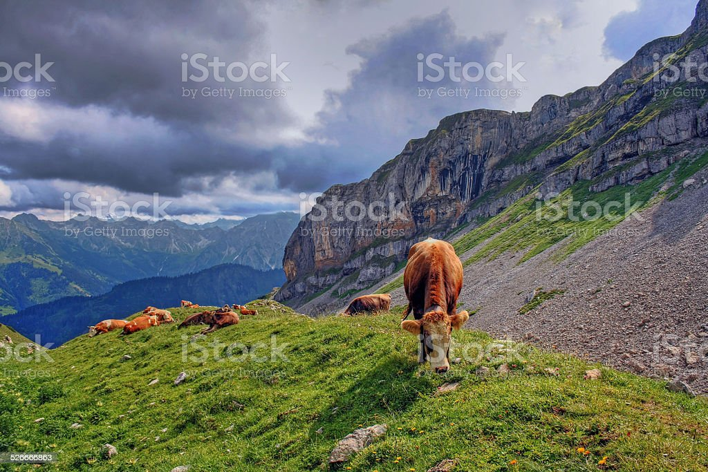 Cows at the high ifen stock photo