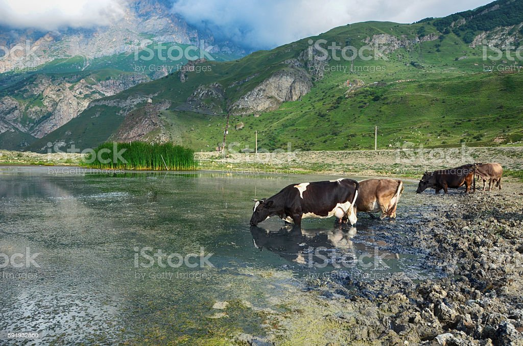 Cows at the watering, mountain lake stock photo