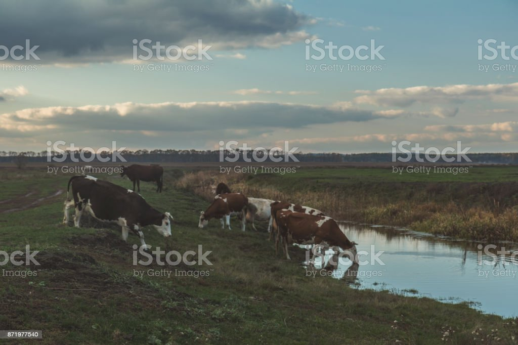 Cows at watering place at sunset stock photo