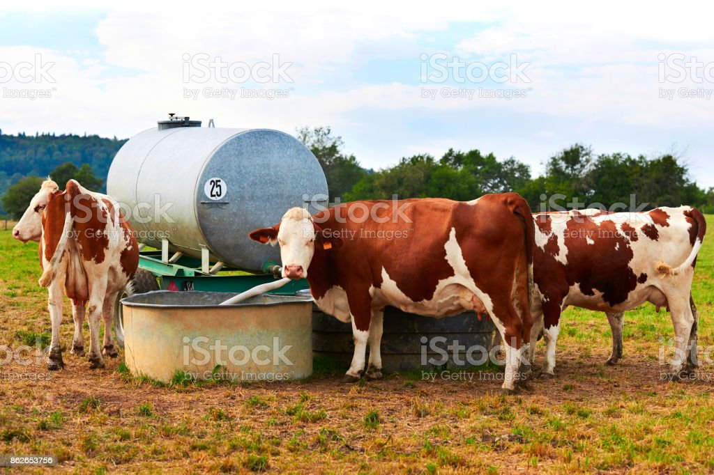 Cows at watertrough in pasture stock photo