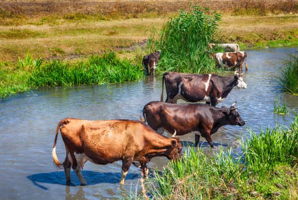 kühe, baden - moo stock-fotos und bilder