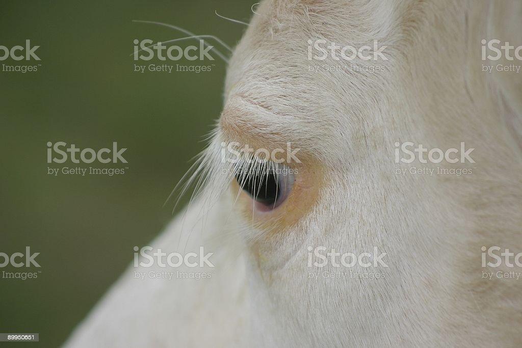 cow's beautiful eyelashes :-) royalty-free stock photo