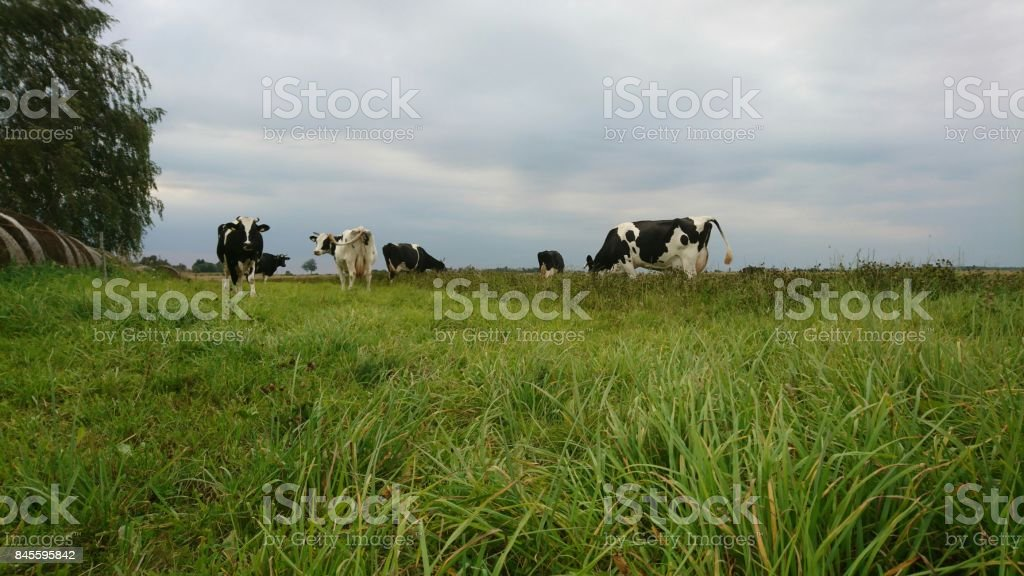 Cows black and white stock photo