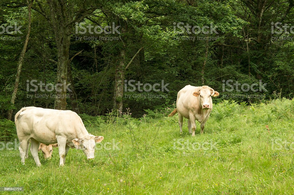 Cows by Mount royalty-free stock photo