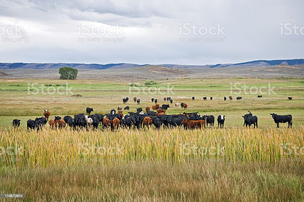 Cows by Road 89 Western USA royalty-free stock photo