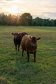 Kühe bei Abenddämmerung auf der Weide