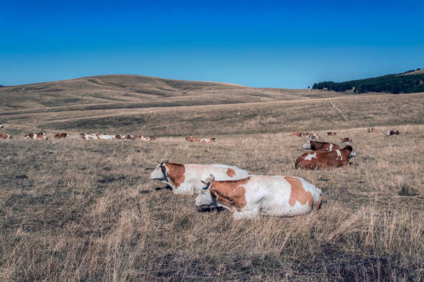 cows chewing cud and lying in the field - cud stock pictures, royalty-free photos & images