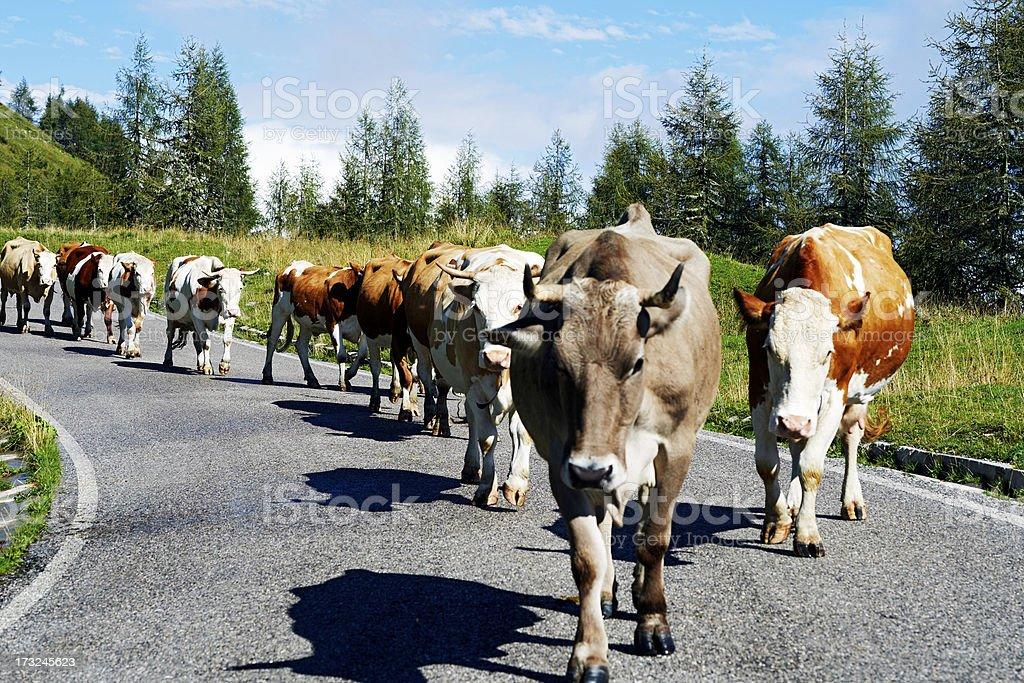 Kühe. Farbe – Foto