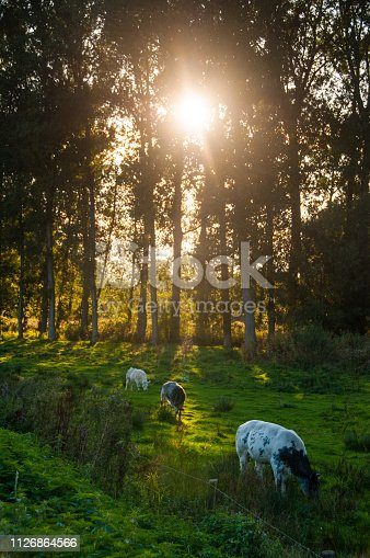 istock Cows crazing on a sunny summer days. 1126864566