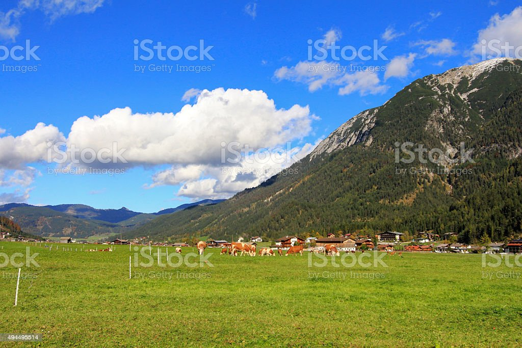 Cows eating grass on the Achenkirch Valley in Austria stock photo