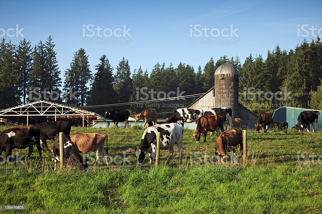 Cows Eating Grass royalty-free stock photo
