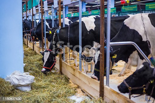 Large row of milking cows eating hay at agricultural animal exhibition. Farming, feeding, agriculture industry and animal husbandry concept
