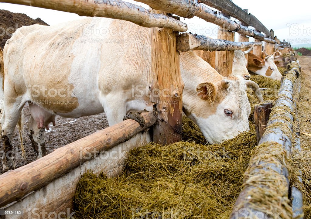 cows eating hay from feeding rack royalty-free stock photo