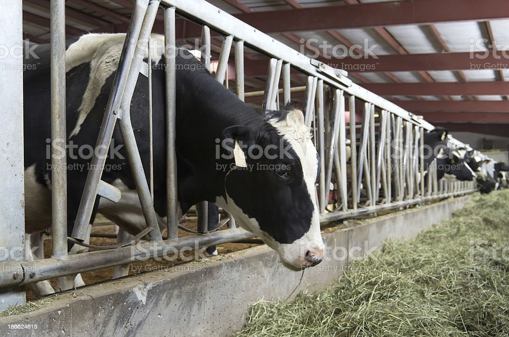 Cows Eating Hay in Barn royalty-free stock photo