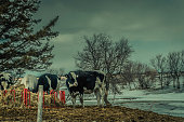 On a beautiful day the farmer took out his cows to enjoy the winter air. There were clouds, the weather was dark at times. Upton, Quebec, Canada; March 16, 2019.