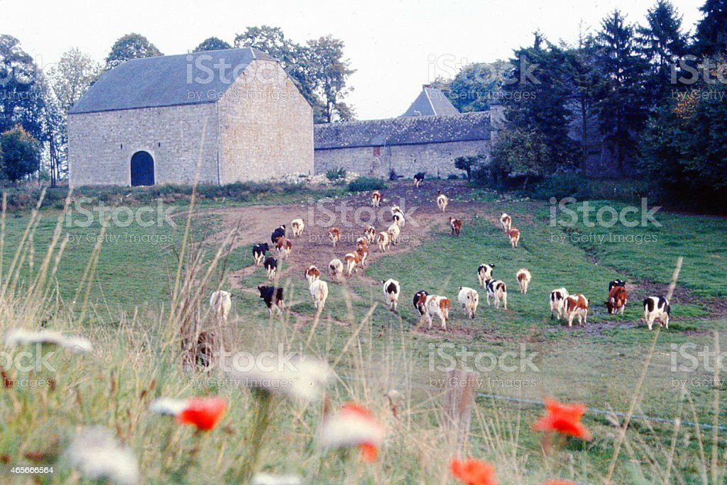 Cows entering old historic Stone Farm Ardennes Region Belgium Europe stock photo