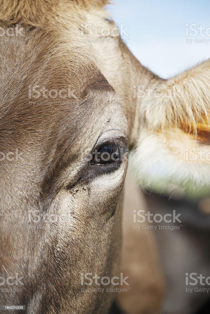 Cows Eye Closeup Stock Photo IStock - 24 detailed close ups of animal eyes