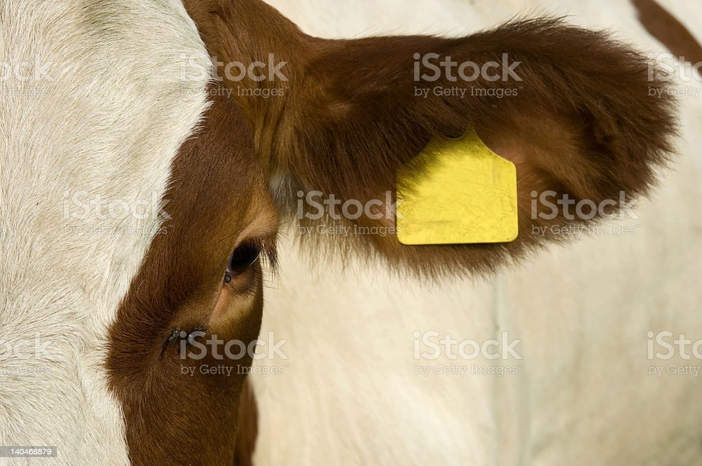 cow's eye stock photo