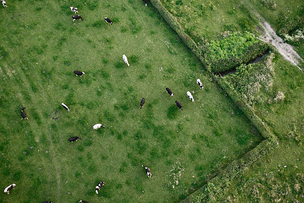 Cows from above stock photo