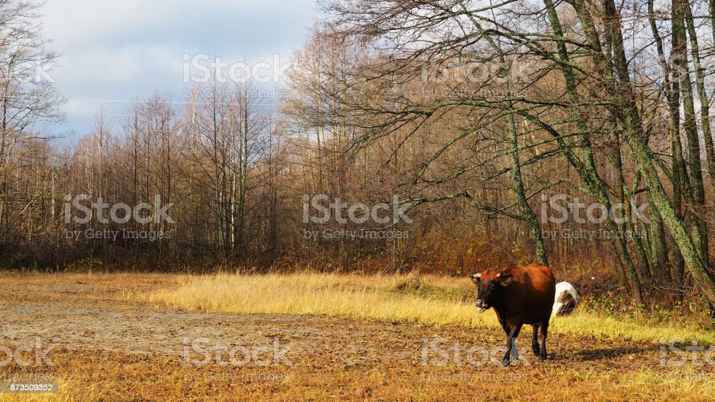 Cows grassing in autumn stock photo