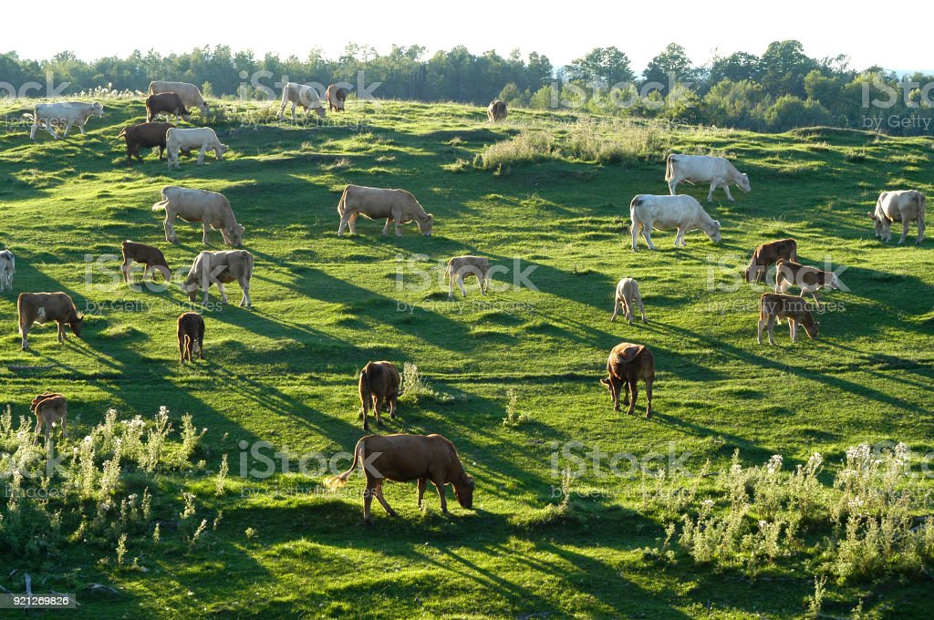 Cows grassing. stock photo