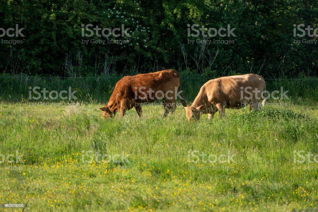 Cows graze in a field in the sunshine - Royalty-free Agricultural Field Stock Photo