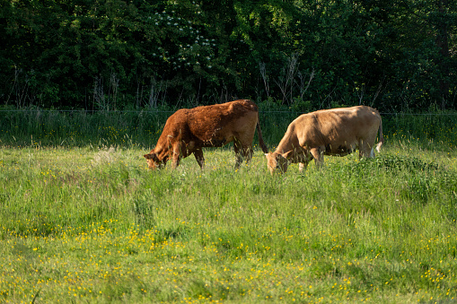 Cows Graze In A Field In The Sunshine Stock Photo - Download Image Now