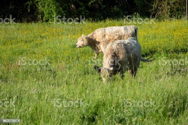 Foto de Vacas Pastam Em Um Campo Na Luz Do Sol e mais fotos de stock de Agricultura