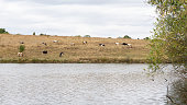 Cows graze in autumn on a meadow near a lake