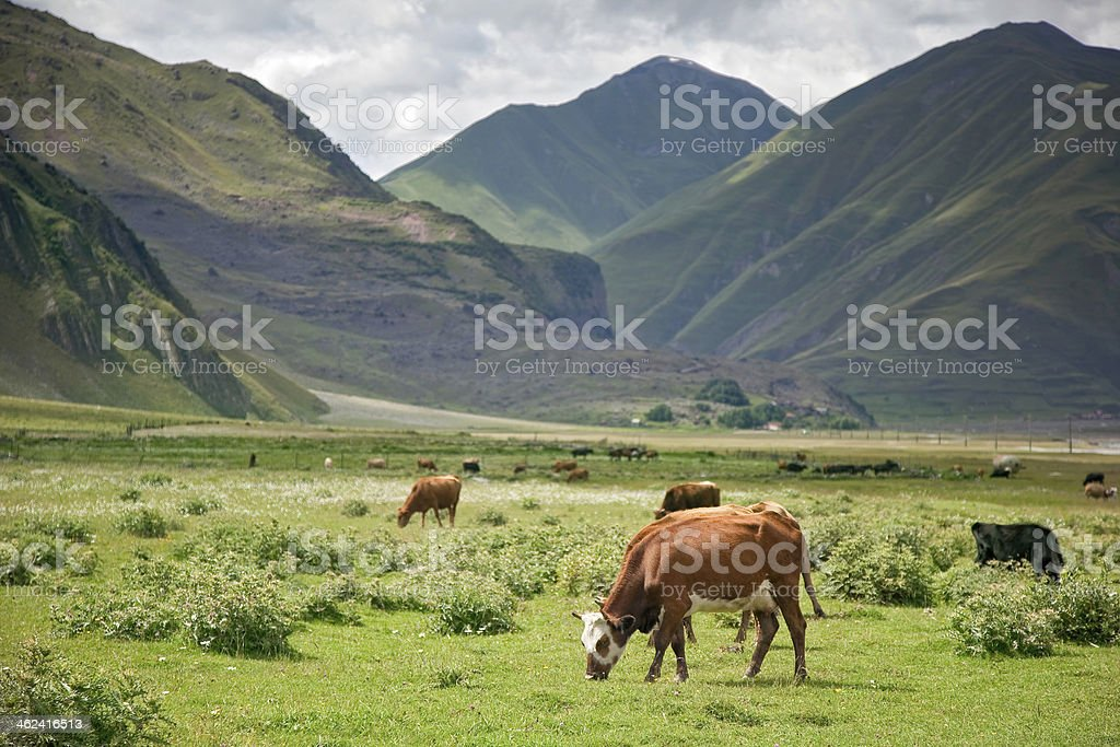 Cows graze in mountains royalty-free stock photo