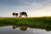 cows graze on sunny pasture by river