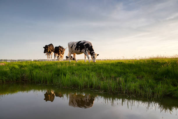 cows graze on sunny pasture by river stock photo