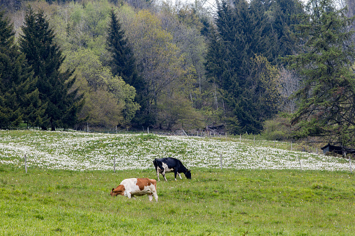 Cows graze on the meadow with white wild narcissus flower (narcissus poeticus) at the Swiss Alps mountain