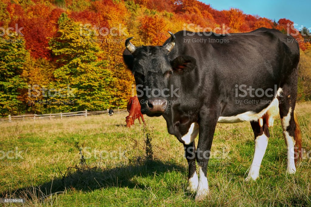 cows grazes near colorfull Autumnal forest. stock photo