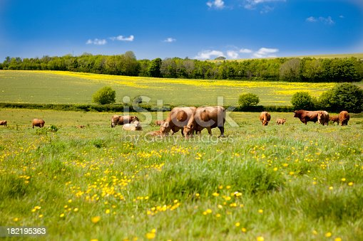 MORE COW PICTURES - CLICK HERE