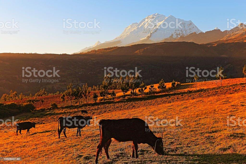 Vacas que pastam e Huscaran em ouro colorido pôr do sol - Cordilheira Blanca - Ancash, Peru - foto de acervo