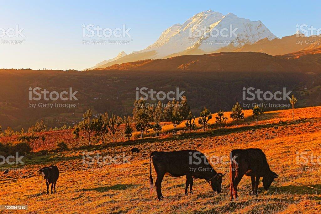 Vacas que pastam e Huscaran ao pôr do sol ouro - Cordilheira Blanca - Ancash, Peru - foto de acervo