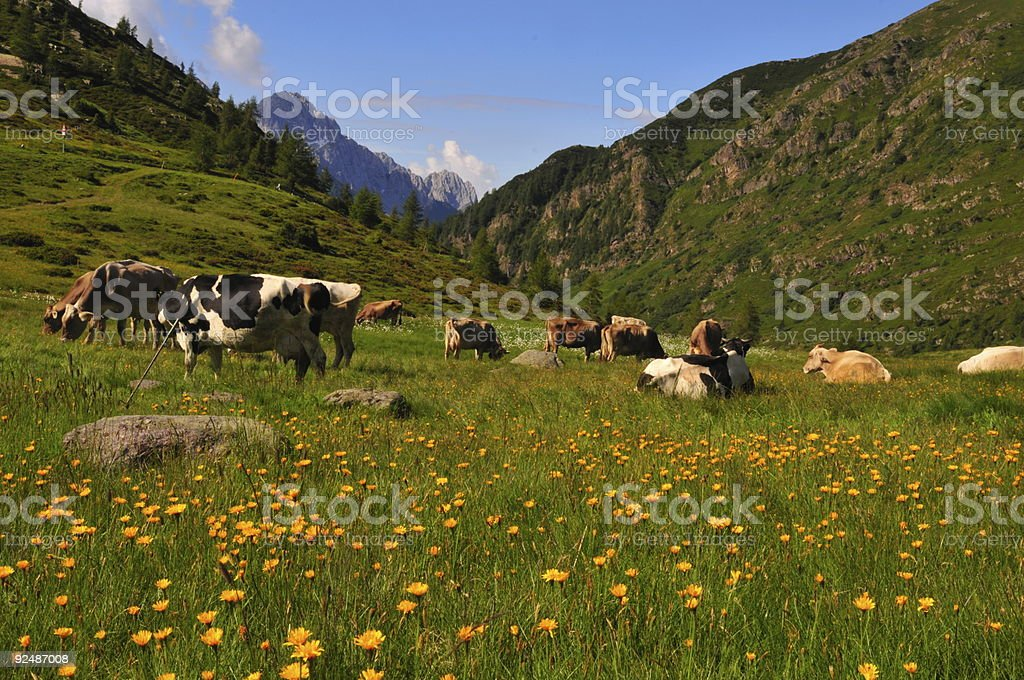 cows grazing and resting in a sunny alpine meadow royalty-free stock photo