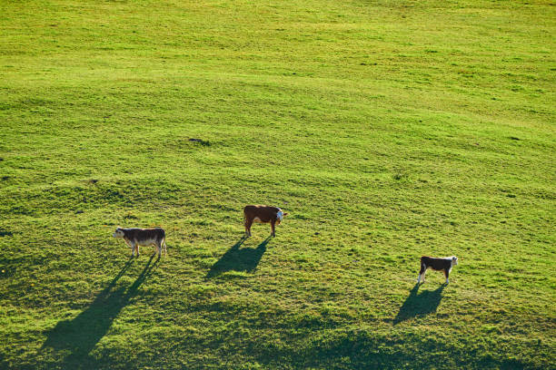 Kühe weiden auf einer Weide in Vermont – Foto