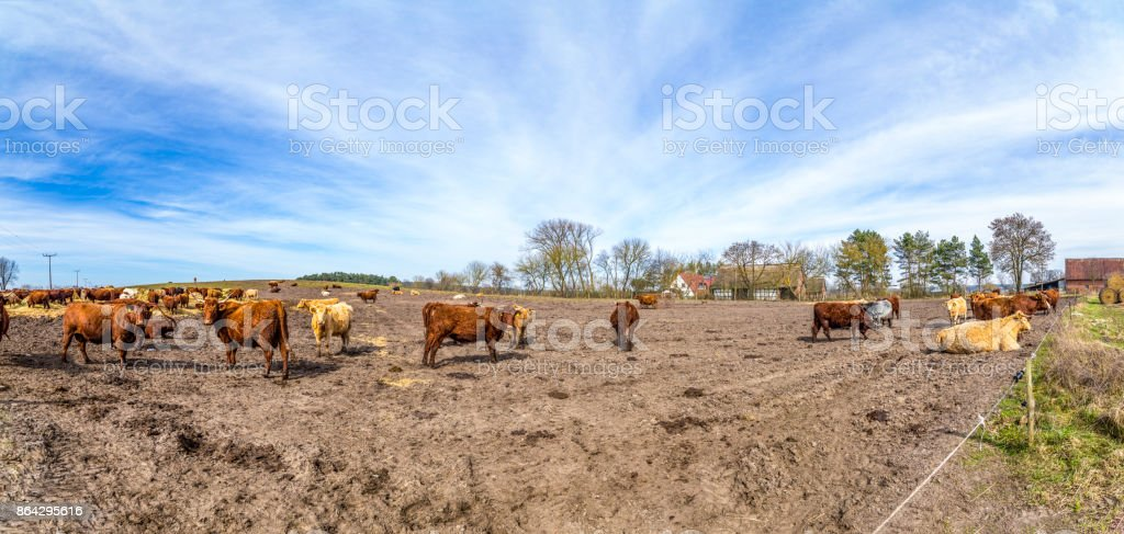 cows grazing at the field royalty-free stock photo