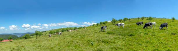 Kühe auf der Highland Wiese an der Spitze des Gebirges alsacien – Foto