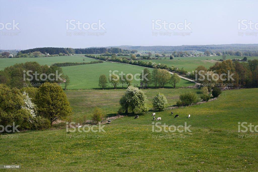 Mucche al pascolo in un campo - foto stock