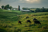 Cows grazing in a grassy field at sunset